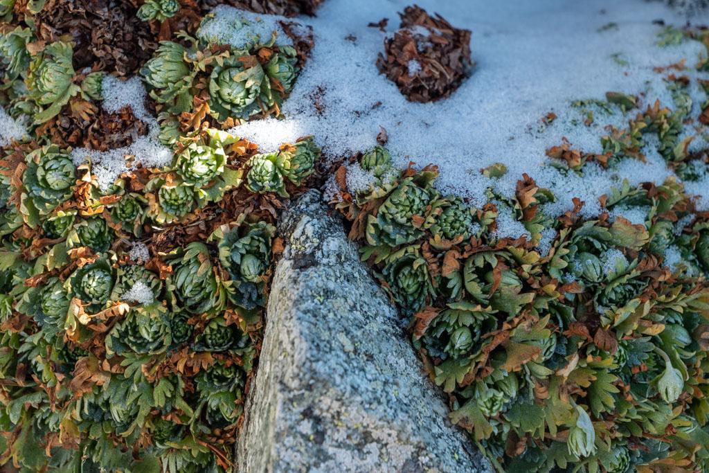 Gros plan sur la flore locale rencontrée sur l'arête W du Mont Poncet
